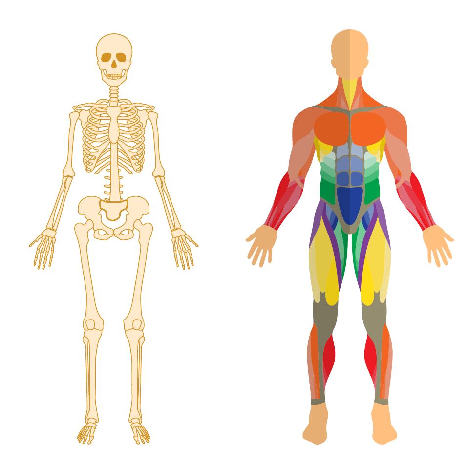 骨格と筋肉